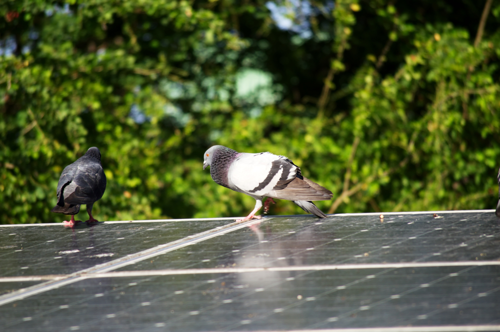 pigeons walking on solar panels